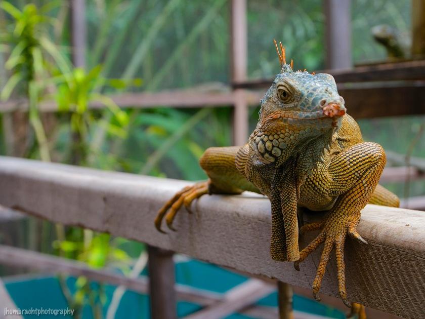 San Ignacio Hotel | Green Iguana Conservation Project | Male Green Iguana | image captured by Jason Humbracht