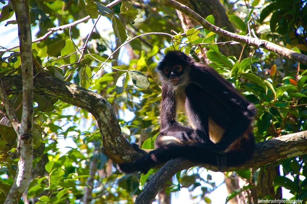 Spider Monkey | Belize Zoo, Belize | Image By Indiana Architectural Photographer Jason Humbracht