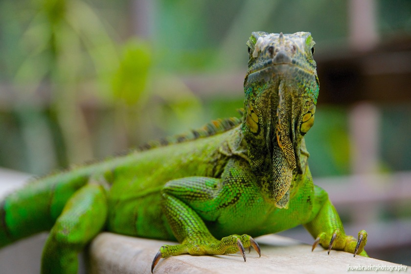 San Ignacio Hotel | Green Iguana Conservation Project | Female Green Iguana | image captured by Jason Humbracht