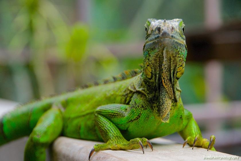 San Ignacio Hotel | Green Iguana Conservation Project | Female Green Iguana | image captured by Jason Humbracht