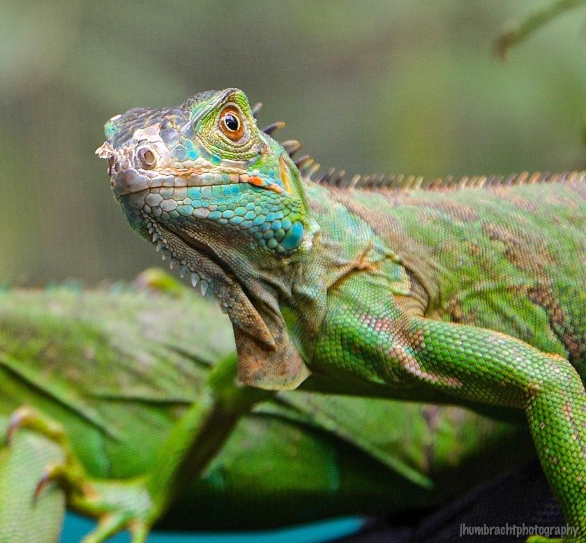 San Ignacio Hotel | Green Iguana Conservation Project | Baby Female Green Iguana | image captured by Jason Humbracht