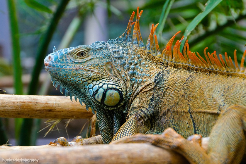 San Ignacio Hotel | Green Iguana Conservation Project | Male Green Iguana | image captured by Jason Humbracht