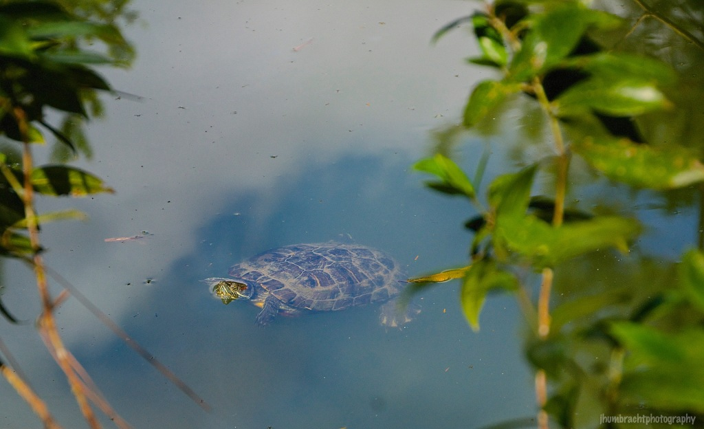Freshwater Tortoise | Belize Zoo, Belize | Image By Indiana Architectural Photographer Jason Humbracht