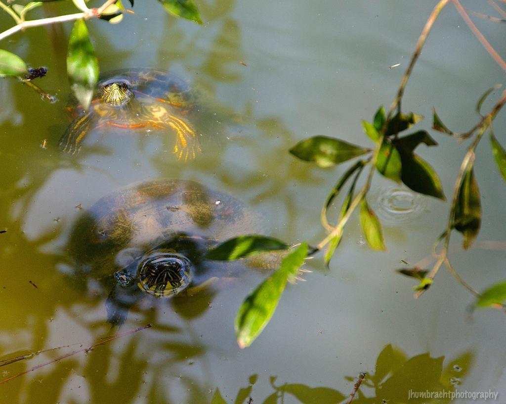 Turtle | Belize Zoo, Belize | Image By Indiana Architectural Photographer Jason Humbracht