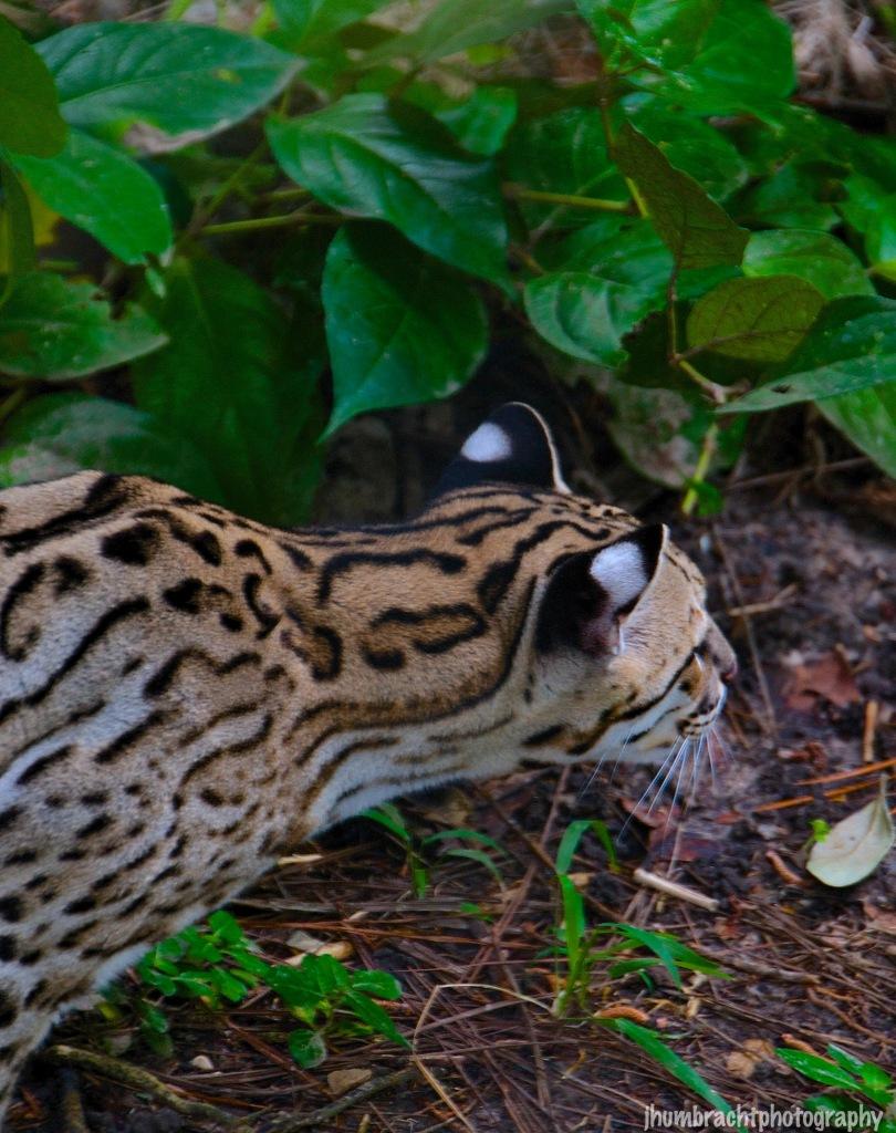 Ocelot | Belize Zoo, Belize | Image By Indiana Architectural Photographer Jason Humbracht