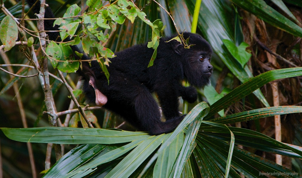 Baby Howler Monkey | Belize Zoo, Belize | Image By Indiana Architectural Photographer Jason Humbracht
