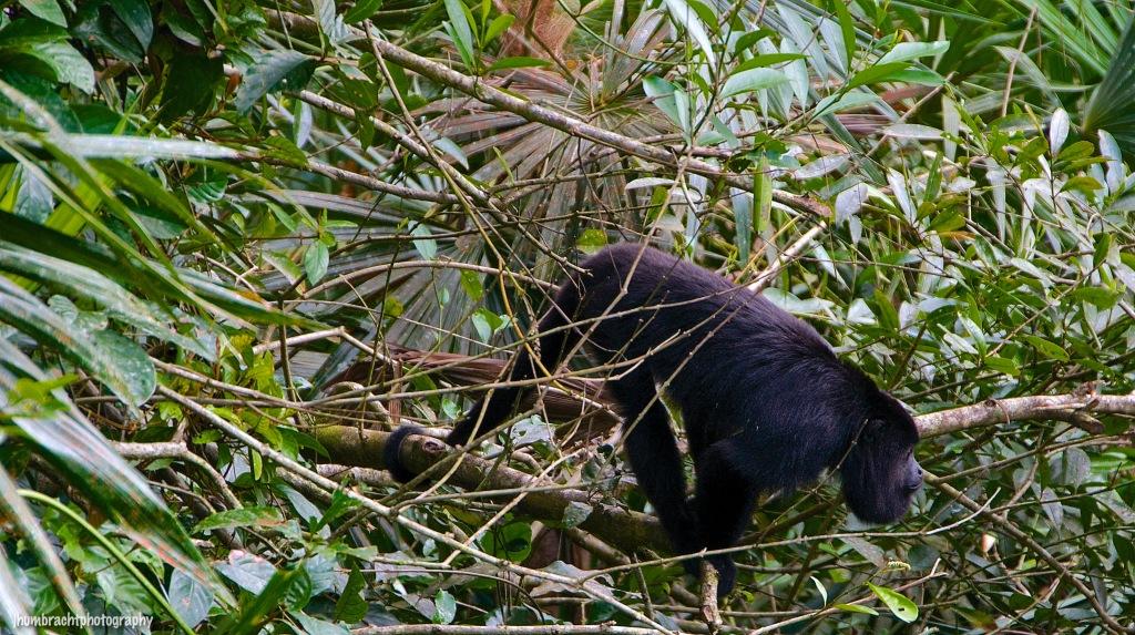Howler Monkey | Belize Zoo, Belize | Image By Indiana Architectural Photographer Jason Humbracht