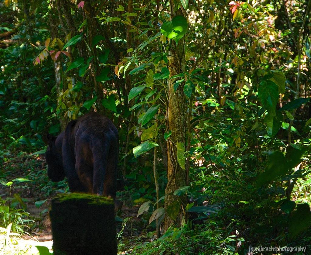 Black Jaguar | Belize Zoo, Belize | Image By Indiana Architectural Photographer Jason Humbracht
