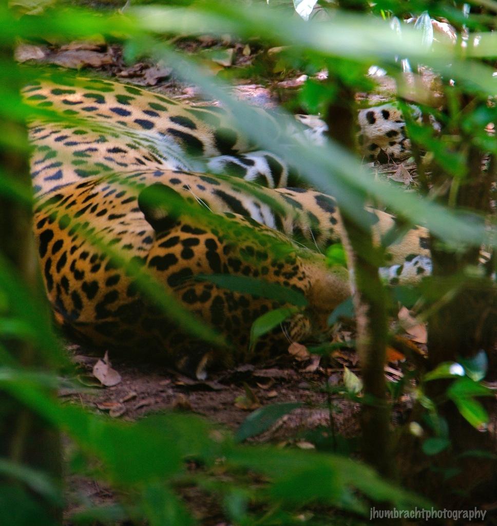 Jaguar | Belize Zoo, Belize | Image By Indiana Architectural Photographer Jason Humbracht