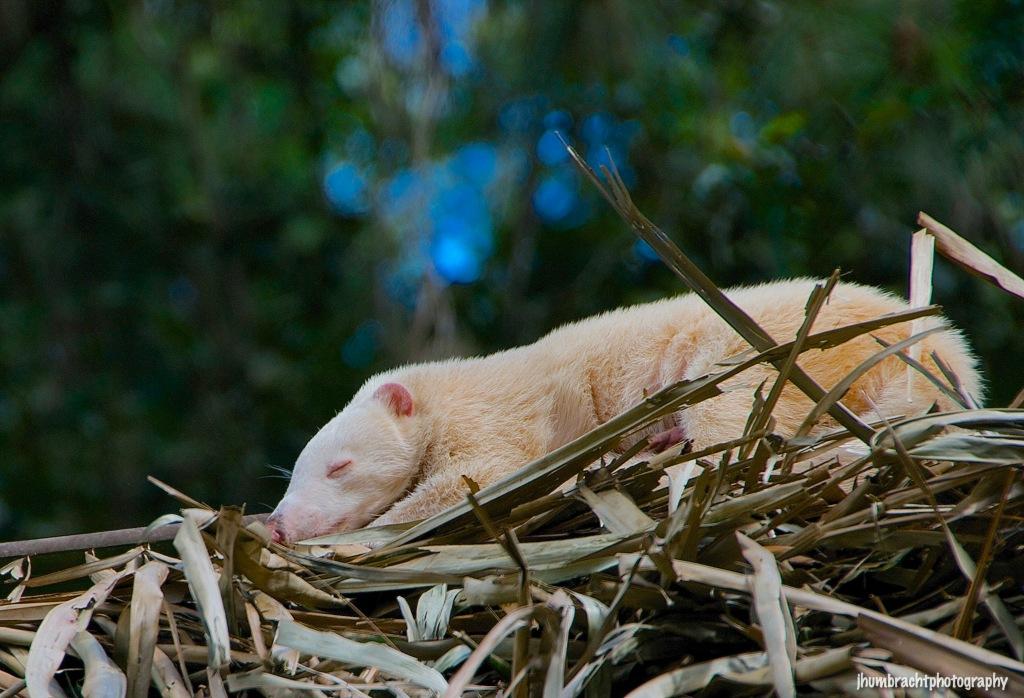 Albino Coatimundi | Belize Zoo, Belize | Image By Indiana Architectural Photographer Jason Humbracht