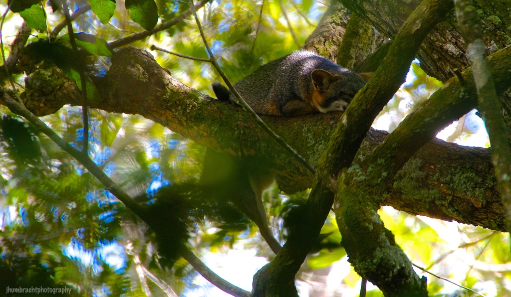 Grey Fox | Belize Zoo, Belize | Image By Indiana Architectural Photographer Jason Humbracht