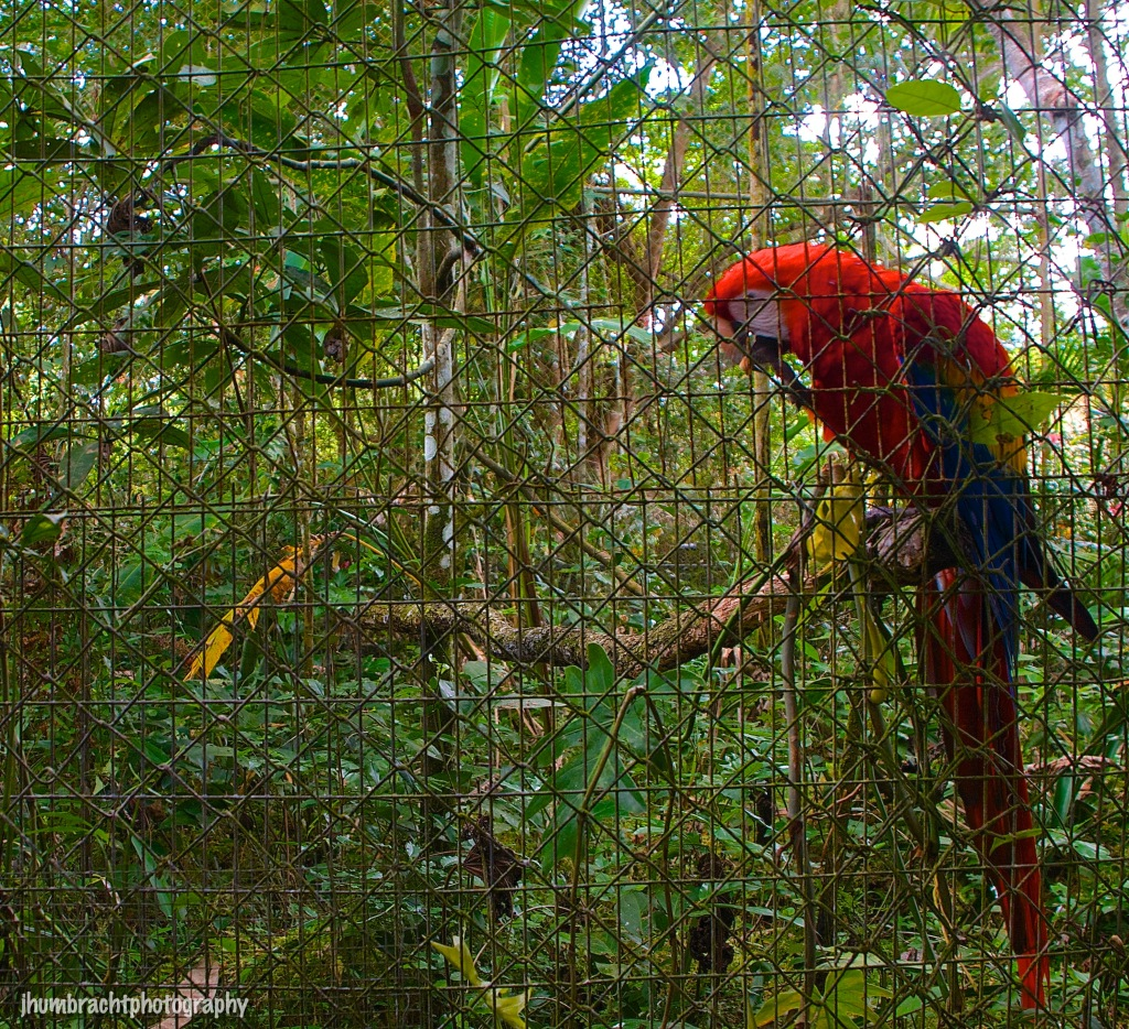 Scarlet Macaw | Belize Zoo, Belize | Image By Indiana Architectural Photographer Jason Humbracht