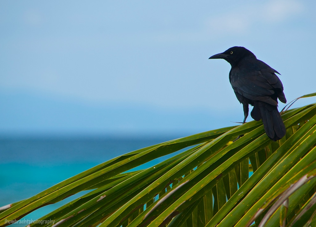 Blackbird or Grackle | Laughingbird Caye | Placencia, Belize | Image By Indiana Architectural Travel Photographer Jason Humbracht
