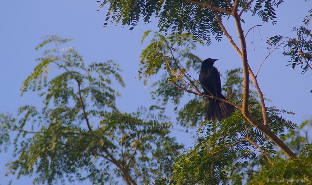 Blackbird or Grackle | Cayo, Belize | Image By Indiana Architectural Travel Photographer Jason Humbracht