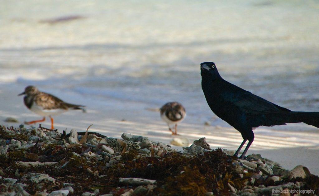 Grackle | Laughingbird Caye | Placencia, Belize | Image By Indiana Architectural Travel Photographer Jason Humbracht