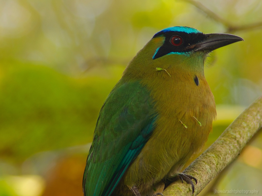 Blue-crowned Motmot | Cayo, Belize | Image By Indiana Architectural Travel Photographer Jason Humbracht