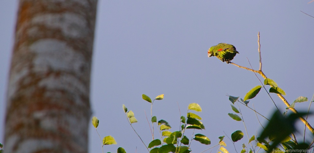 Red-lored Parrot | Cayo, Belize | Image By Indiana Architectural Travel Photographer Jason Humbracht
