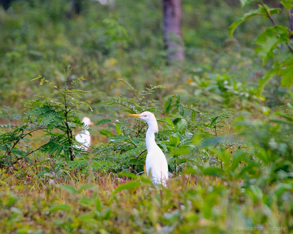 Cattle Egret | Birds of Central America | Image By Indianapolis-based Architectural Photographer Jason Humbracht in 2015
