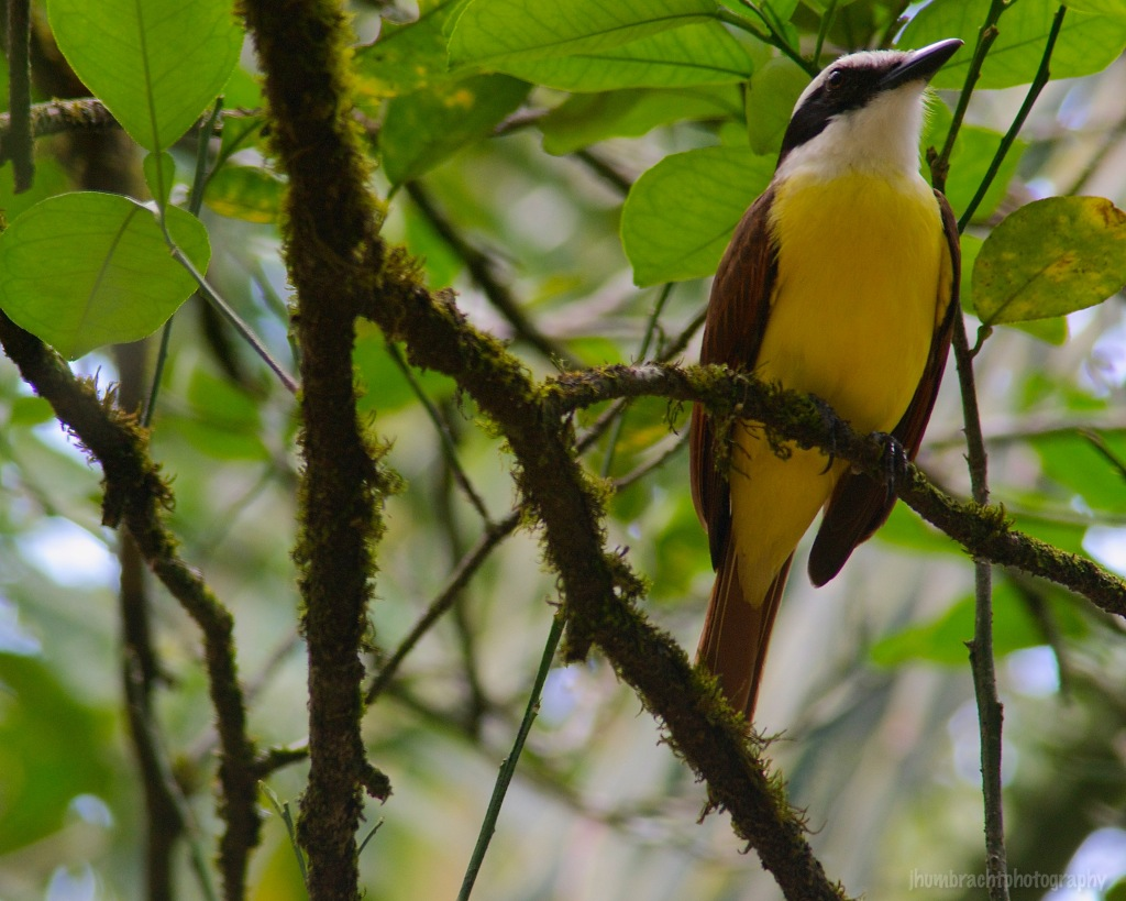 Great Kiskadee | Birds of Belize | Image By Indiana Architectural Travel Photographer Jason Humbracht