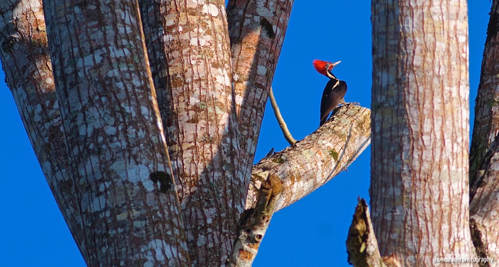 Linefeed Woodpecker | Birds of Belize | Image By Indiana Architectural Travel Photographer Jason Humbracht
