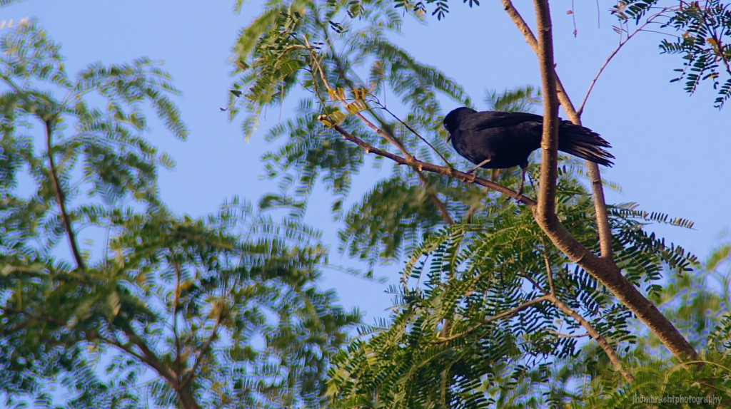 Great-tailed Grackle | Birds of Belize | Image By Indiana Architectural Travel Photographer Jason Humbracht