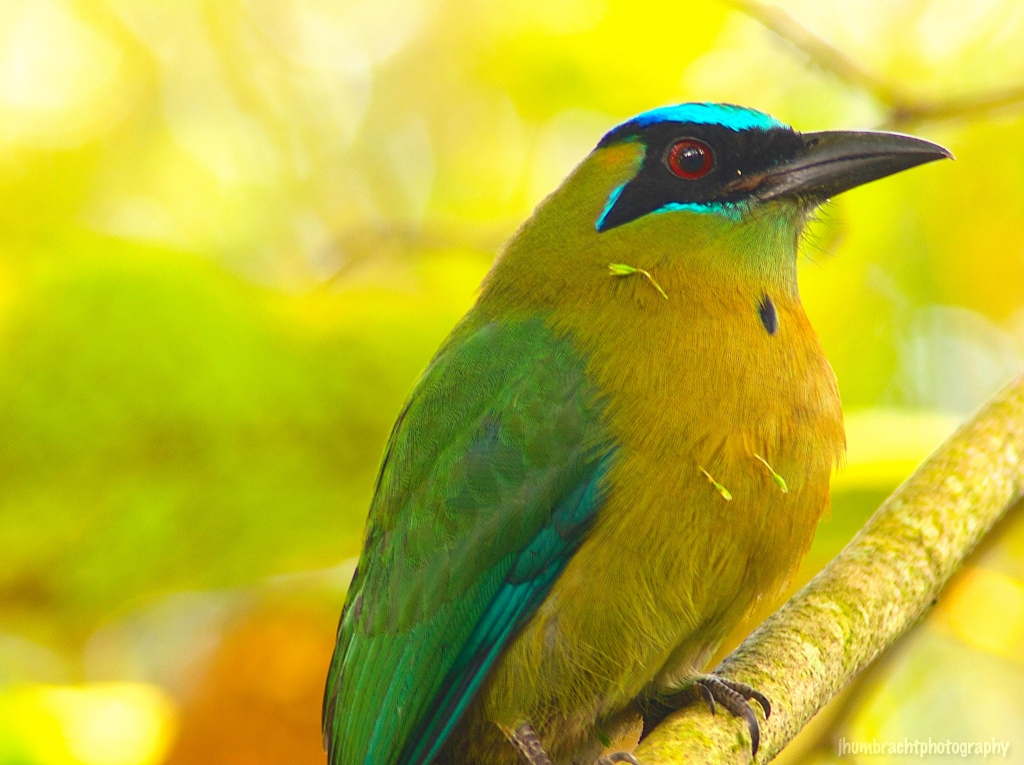 Blue-crowned Motmot | Birds of Belize | Image By Indiana Architectural Travel Photographer Jason Humbracht