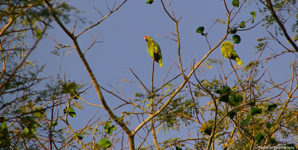 Red-Pored Parrot | Birds of Belize | Image By Indiana Architectural Travel Photographer Jason Humbracht