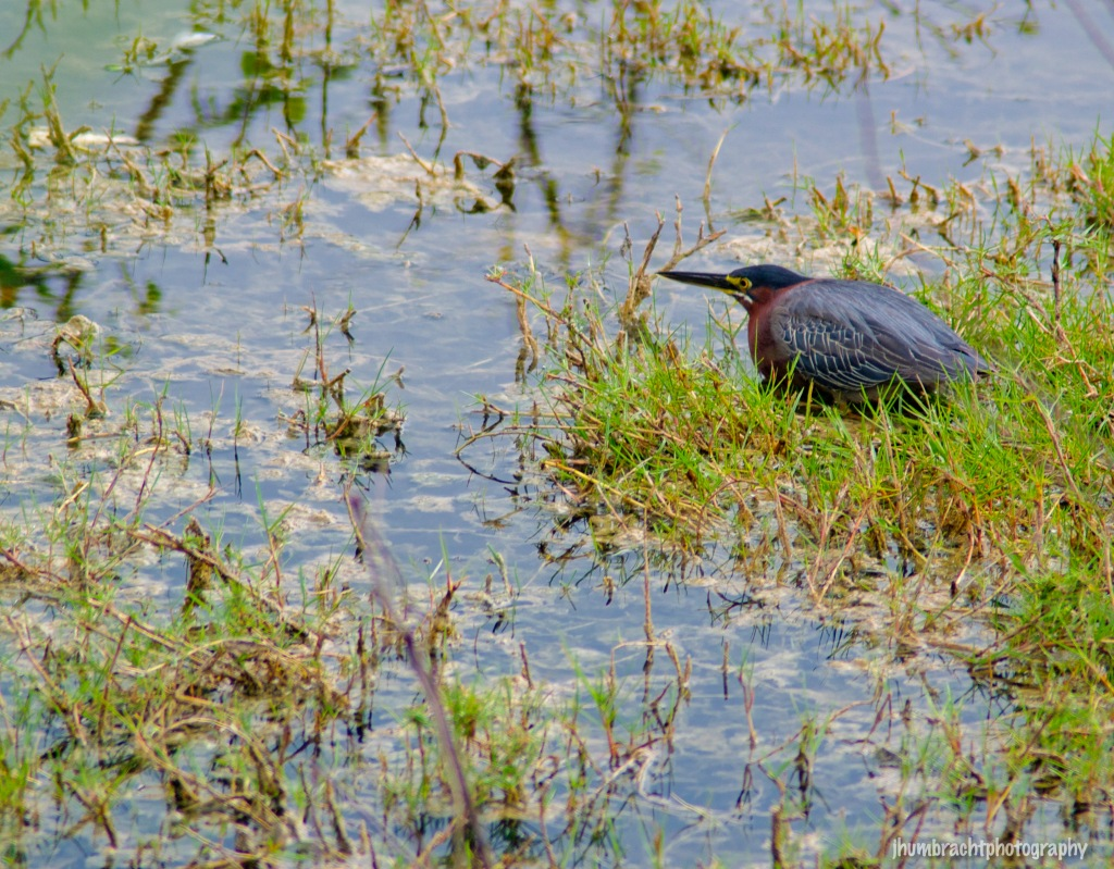 Green Heron | Birds of Central America | Image By Indianapolis-based Architectural Photographer Jason Humbracht in 2015