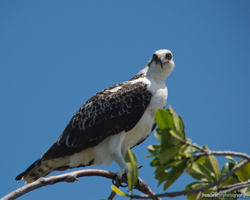 Osprey | Birds of Central America | Image By Indianapolis-based Architectural Photographer Jason Humbracht in 2015