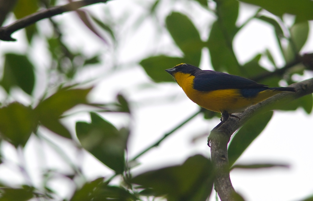 |Yellow-throated Euphonia | Birds of Central America | Image By Indianapolis-based Architectural Photographer Jason Humbracht in 2015