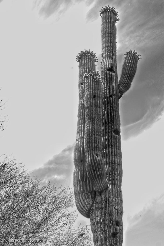 Saguaro Cactus | Phoenix Arizona | Image By Indianapolis-based Architecture Photographer Jason Humbracht in 2015